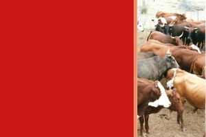 Outbreak of measles in Botswana becoming a challenge for beef industry