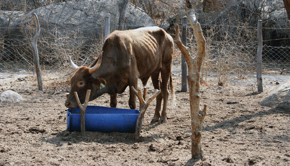 An-emaciated-animal-enjoying-feed-in-one-of-the-feedlots-in-Matabeleland-South-1